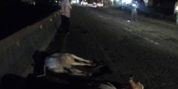 Se impacta auto contra 2 semovientes en la Villahermosa-Frontera