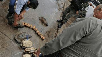 Rescata la PROFEPA 42 quelonios que pretendían ser vendidos sobre la carretera Villahermosa-Frontera