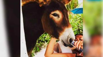 Turistas dan cerveza a burro en Tulum, acusan al hotel de maltrato animal