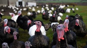 Detectan brote de gripe aviar en granja de pavos de Reino Unido